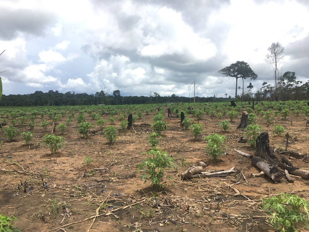 The Challenge - A rainforest of 1000+ species used to stand here. Now we see one species -- papaya -- which will be grown with heavy pesticides and shipped away to be eaten in a distant city. A few burnt stumps remain amidst the young papayas. This slash-and-burn method of clearing rainforest is a common means of creating space for intensive farming. This is a recently emerging challenge here. While this area was historically isolated, without dependable roads to reach the nearest city, the creation of the Interoceanic Highway is changing the landscape. The highway spanning South America coast to coast - crossing Brazil and Peru - now makes it possible to transport fresh, perishable foods to the nearest city. Suddenly there is a big market for products such as bananas and papayas where there wasn't before. The response over the past ten years since the highway opened: deforestation has skyrocketed.Camino Verde is grassroots reforestation project which is working to address the serious threat to this precious habitat. It was founded by Robin Van Loon to create economic opportunities for local people in an ecologically responsible way.
