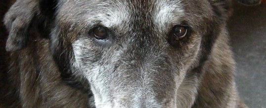 senior-dog.jpg