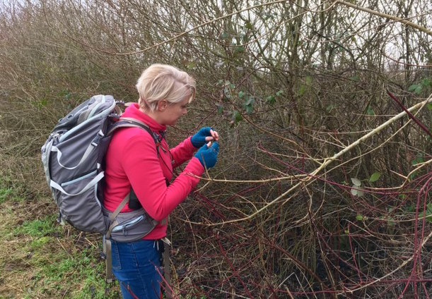 Dr Phoebe Carter on the look out for the tiny brown hairstreak butterfly eggs on the blackthorn hedge. No luck this time but they were there somewhere!