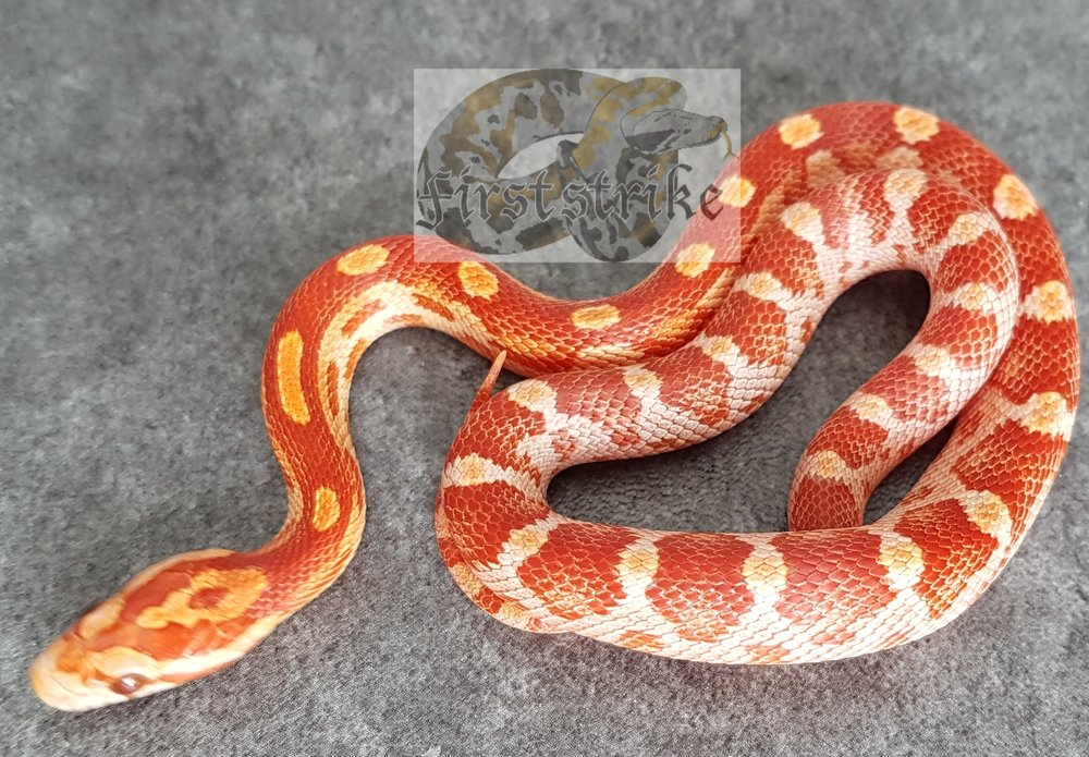 Ultra Amelistic Corn, 2017, Female/Males   Normal $125   Ultra Motleys   $150