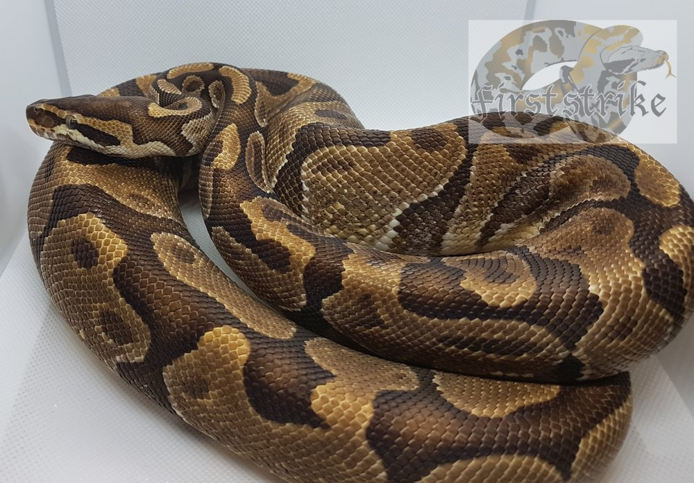 Enchi Het Albino, 2014, Proven Male. Made a Super Enchi Albino from this pair.   $400