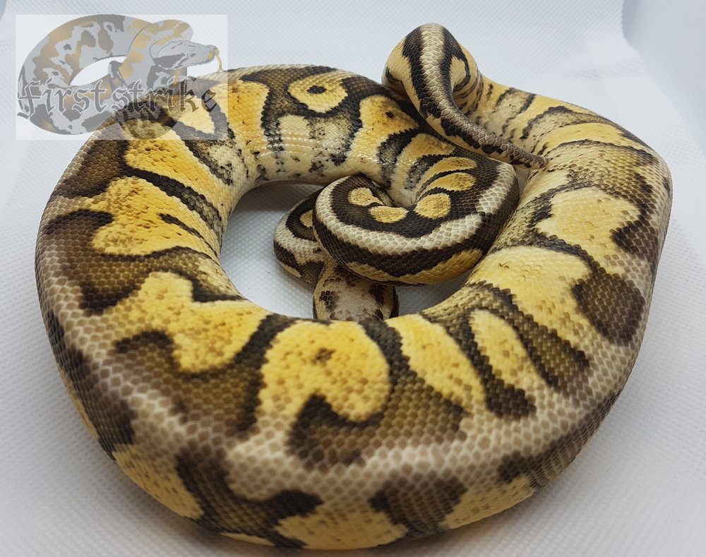Pastel Fire Woma, 2017, Breeder Size Male   $450
