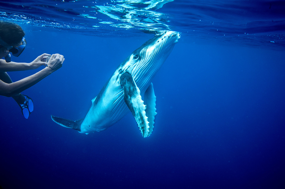 Bucket List 1 Dive With Whales In The Kingdom Of Tonga