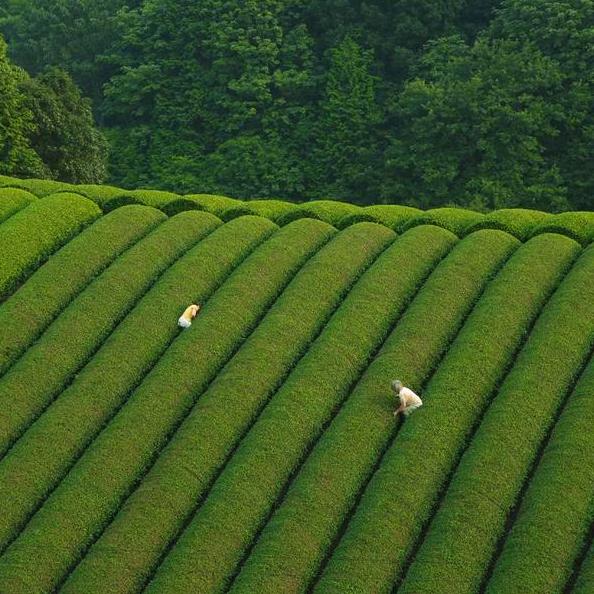 Bucket List No. 2: Traversing Through The Tea Fields of Wazuka