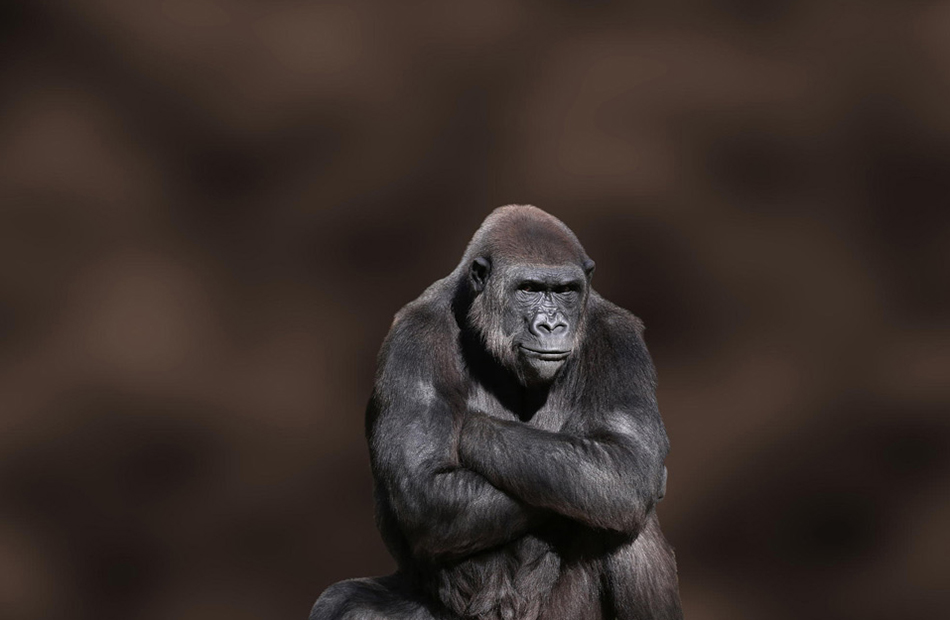 Stubborn Gorilla captured by  Debi Dalio