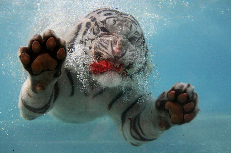 Underwater White Tiger feasting captured by  Fernando Pinto