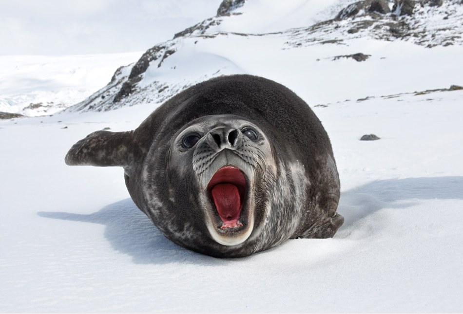 Getting told off by a young Southern Elephant Seal photographed by  Serge Ouachée