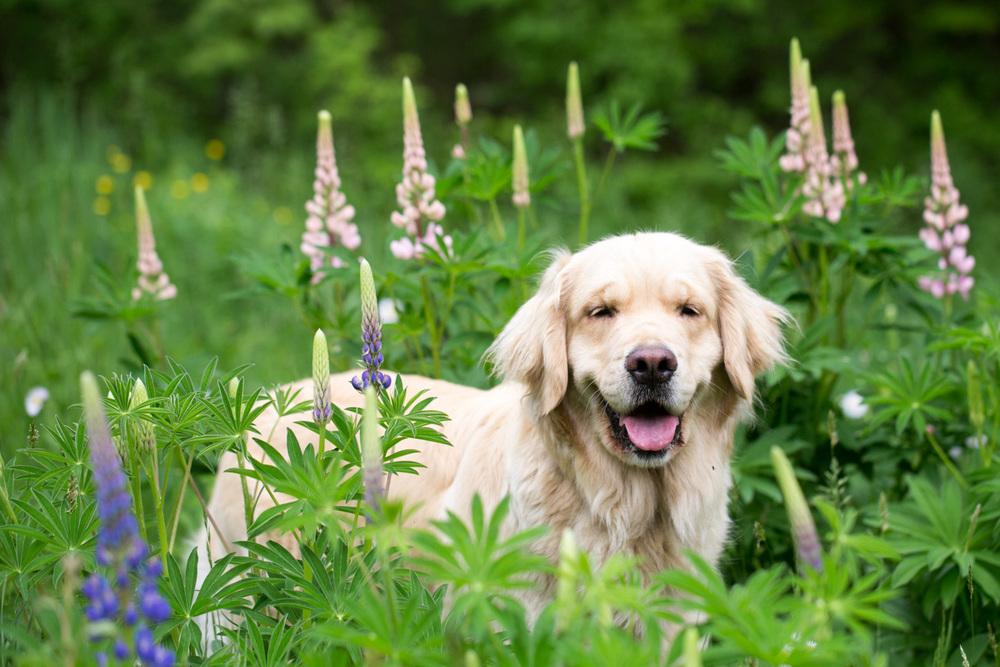 website dog lupine (1 of 1).jpg