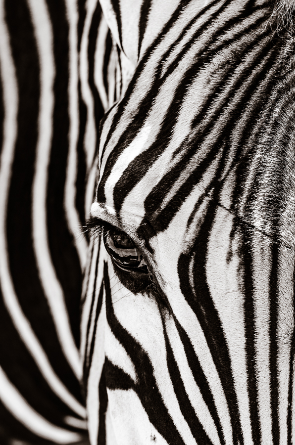 Zebra, Fossil Rim Wildlife Center, Glen Rose, TX