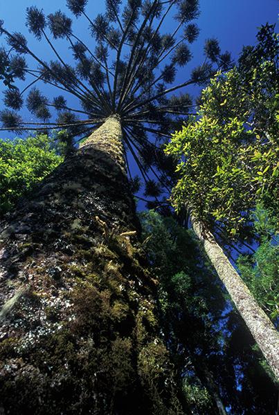 Iniciativa da Fundação Boticário preserva a araucária (Foto: Divulgação)