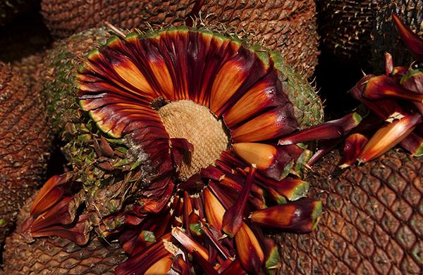 Pinhão é a semente da araucária (Foto: Divulgação)
