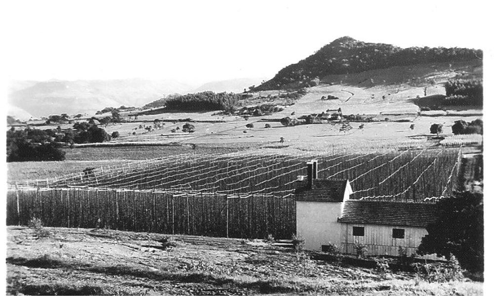 Detalhe da plantação de lúpulo do austríaco Roland Hoblik no meio do século passado na serra gaúcha (Foto: acervo da família Hoblik)