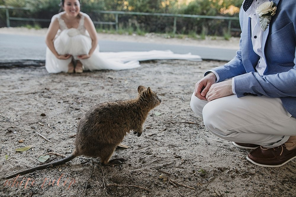 quokka at wedding