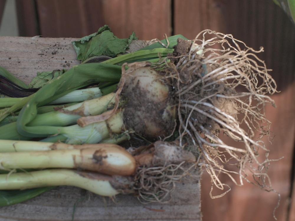 Last Year's Onions