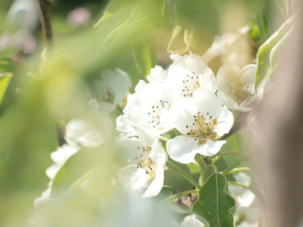 Pear blossom / America Vilage