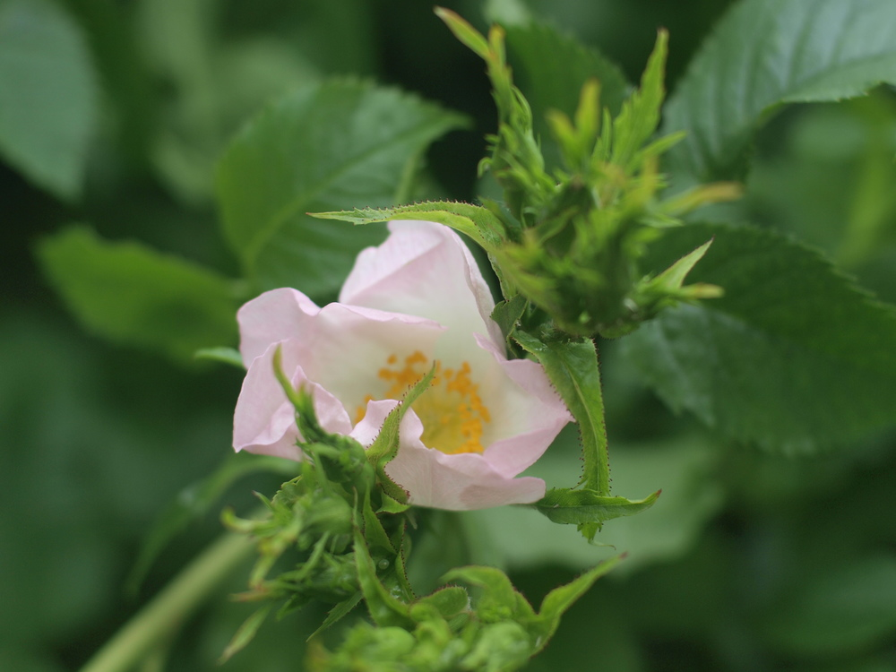 First Wild Rose Blossoms