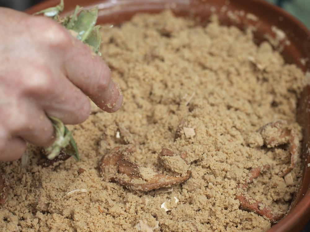 Buckwheat Fermentation