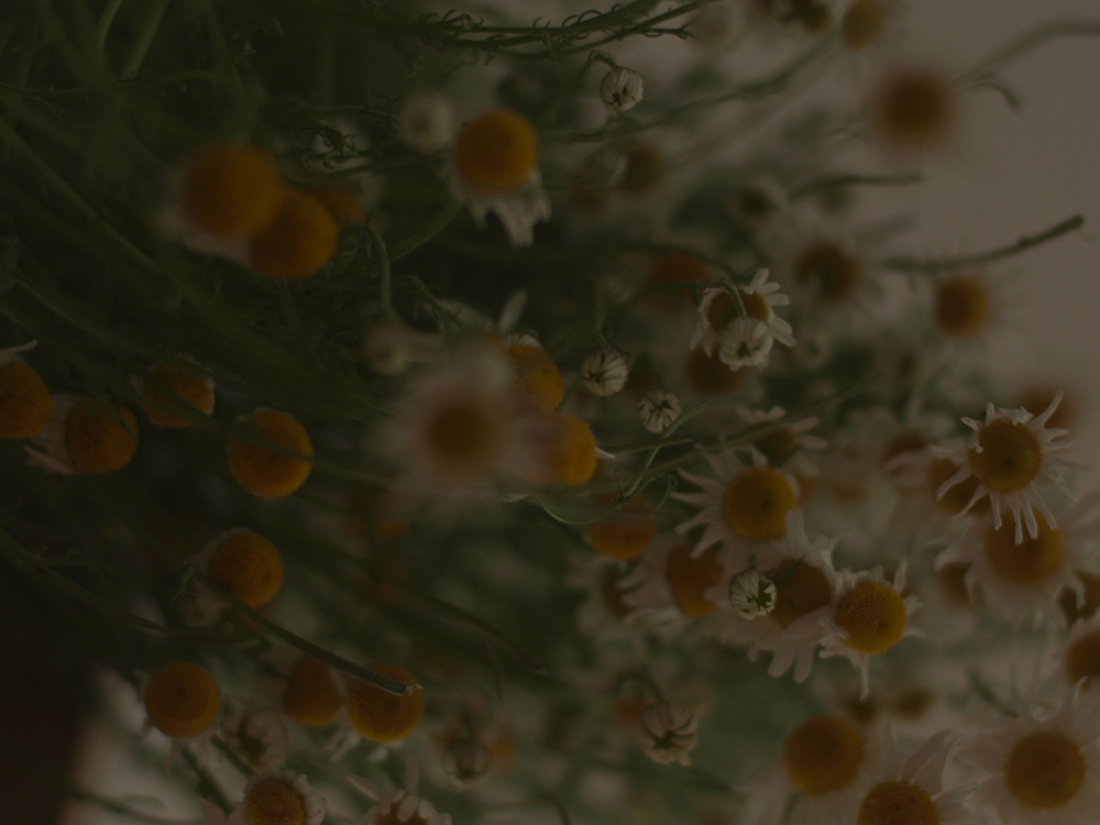 Hanging chamomile to dry.