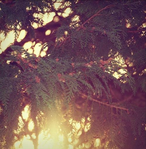 - pine