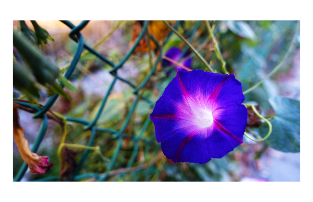 SIMON ALCANTARA, NUMINOUS, VIBRANT FLOWER AND FENCE.jpg