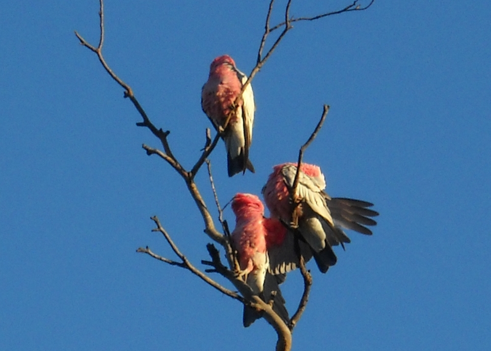 0515 - fraser range  accommodations - birds in tree (1024x732).jpg
