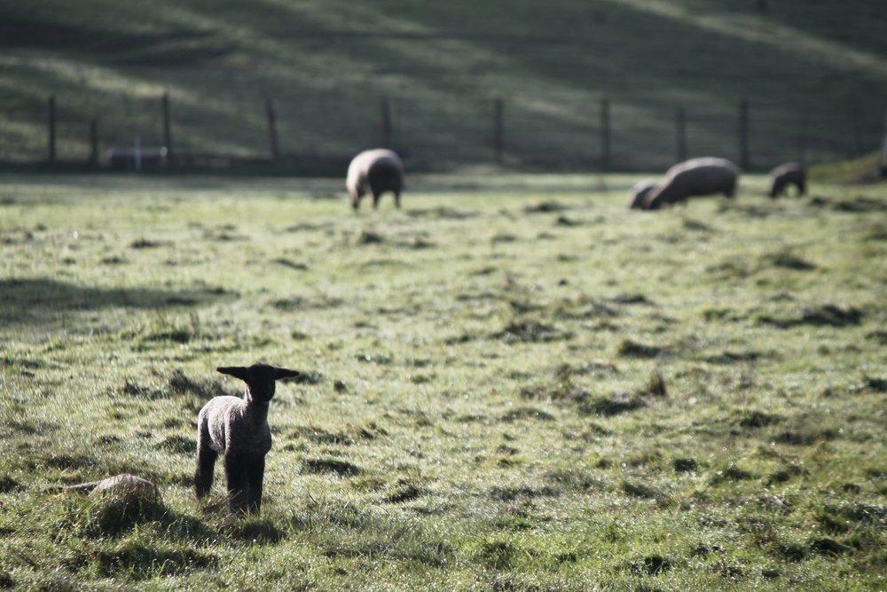 auspices lambs.jpeg