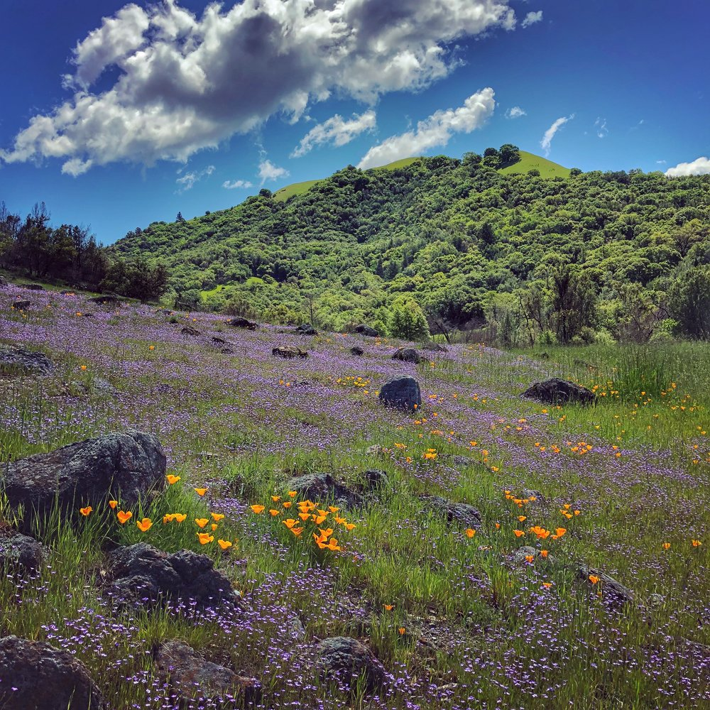 Sugarloaf Ridge Park, during the post--fire super bloom of 2018. Sugarloaf is one of my favorite ecotherapy destinations.