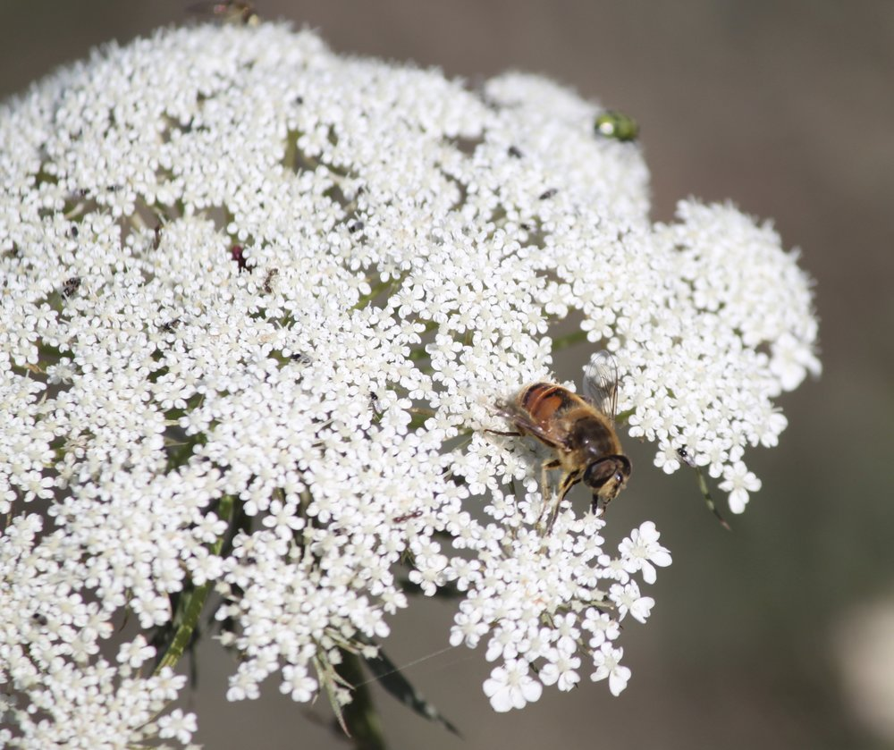 I am in dedication to you, hover fly and Queen Anne's lace. (That's right, it's a fly, not a bee!)