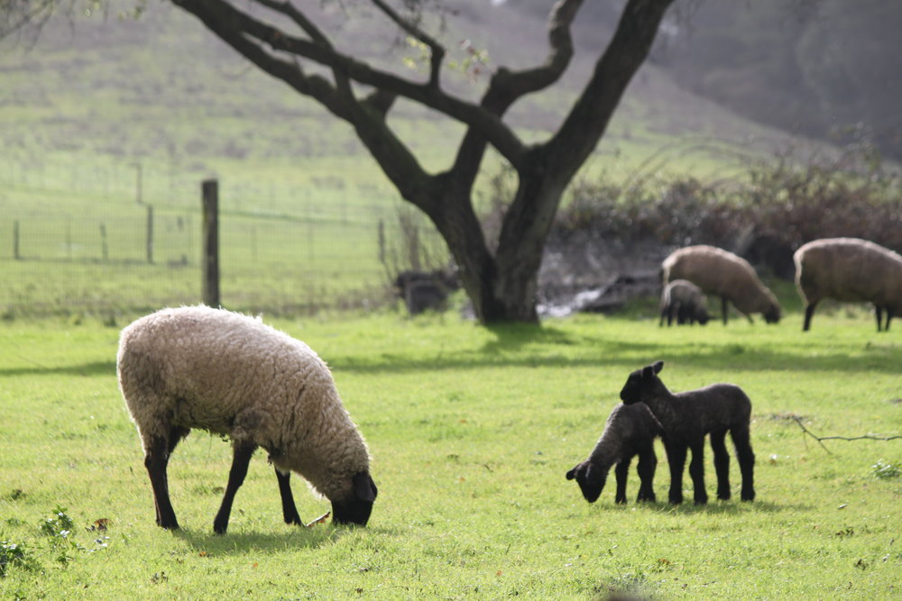 Lambing begins in Northern California in January.