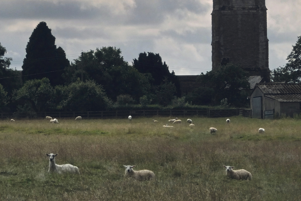 Sheep in a field, Lower Brailes, Oxfordshire