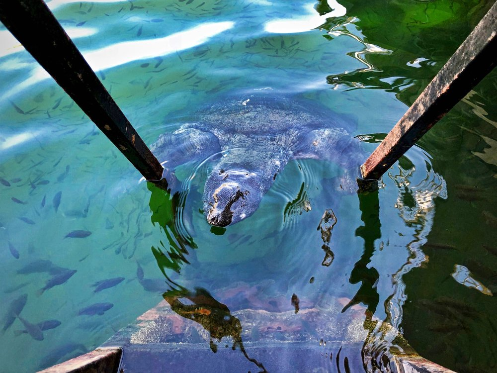 Nile Turtle in the Dalyan River #2