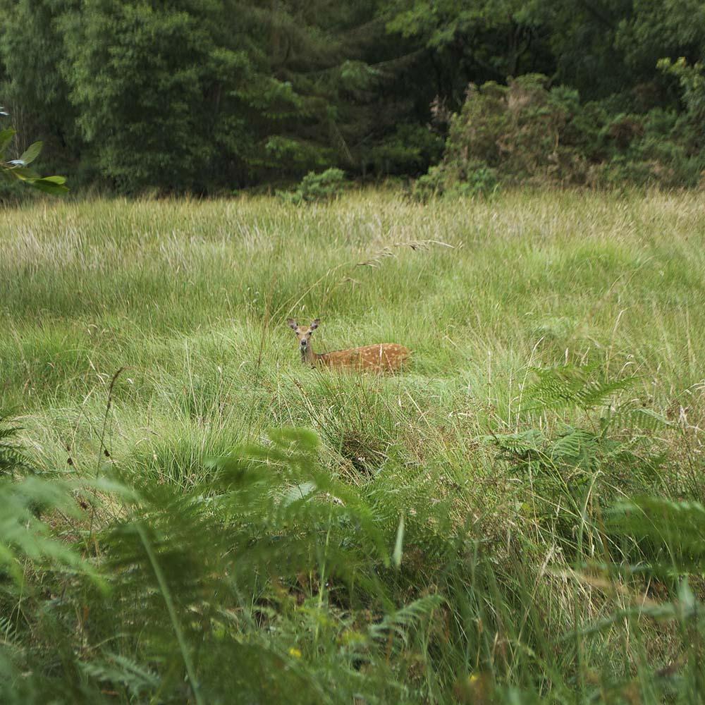 Roe Deer, Glendalough
