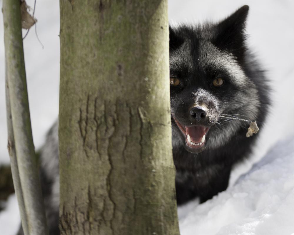 Silver fox 8.jpg