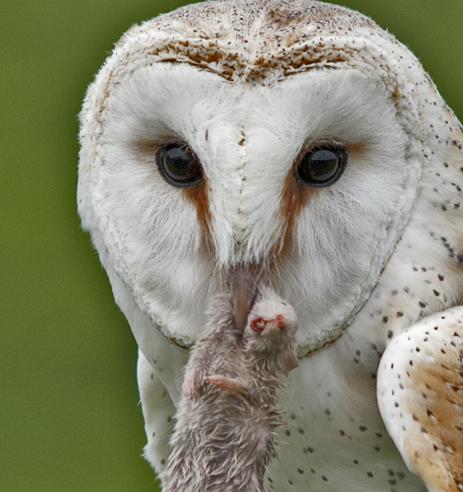 Owl and mouse.jpg