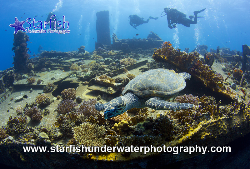 Friendly turtle on Tiles Wreck, Abu Nuhas, Egypt