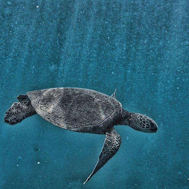 Turtle Thursday 🐢  #hawaii #happyfishhawaii #nature #adventure #ocean #gopro #turtle #honu #animals #oahu #honolulu #mermaid #fashion #beach #diving #fish #happyfish #happy #love