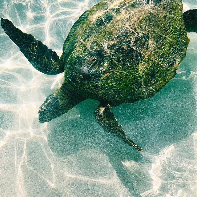 Just keep swimmin💧🐢 ___________________________ #turtle #thirstythursday #turtlethursday #happyfish #happyturtle #happyfishhawaii #paradise #seaworld #justkeepswimming