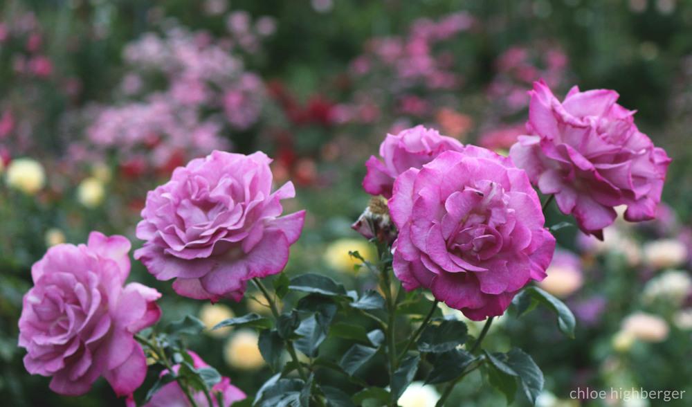 TPA_Roses.jpg