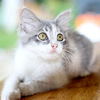 Feline Leukemia and your Kitten