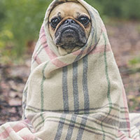 Canine Influenza (Dog Flu)
