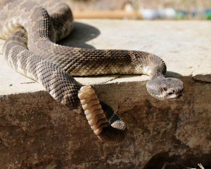 A RATTLESNAKE at Meher Mount is not uncommon in this semi-wilderness area. (Ray Johnston photo, 2009.)