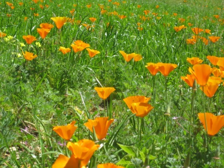 A FIELD OF CALIFORNIA POPPIES in the meadow on the way to Baba's Tree at Meher Mount. (Leslie Bridger photo, April 2011.)
