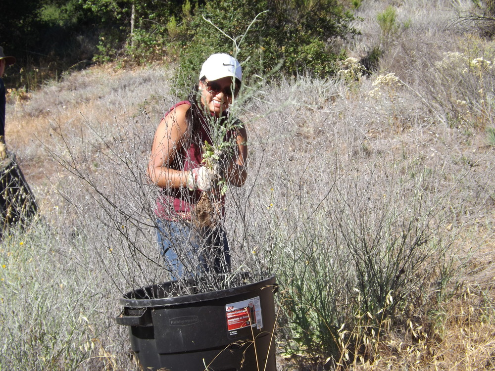 MICHELLE CHOUG filled barrels with Yellow Starthistle plants. (Photo: Leslie Bridger, 2012)