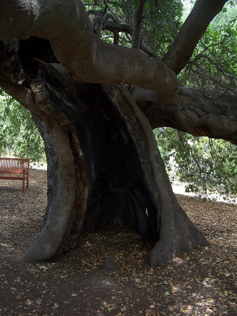 BABA'S TREE where the 1985 New Life Fire burned a significant portion of the trunk. The tree is a Coast Live Oak ( Quercus agrifolia ). (Photo: Judy Ann Barkow, August 2012)