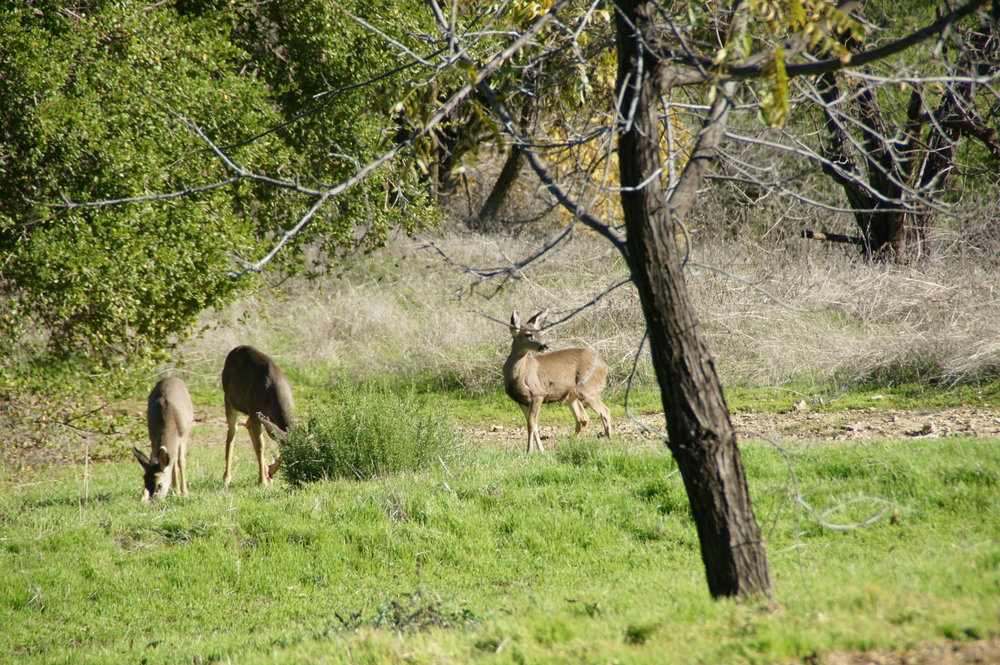 DEER GRAZING in a field near the Topa Topa Patio. (Photo: Byron Pinckert, 2012.)
