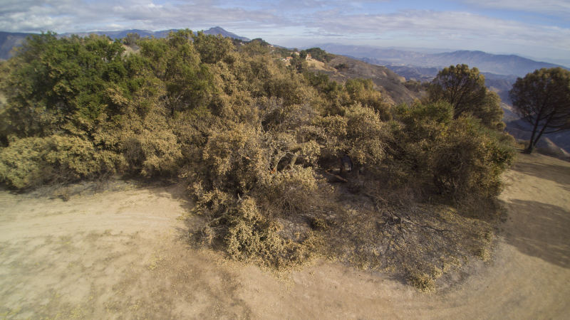 AN AERIAL VIEW of Baba's Tree a month after the Thomas Fire struck Meher Mount on December 4, 2017. The fire shattered the tree's crown and much of the trunk. (Photo: Russell Latimer,  Eye of Mine Action Cameras , January 4, 2018).