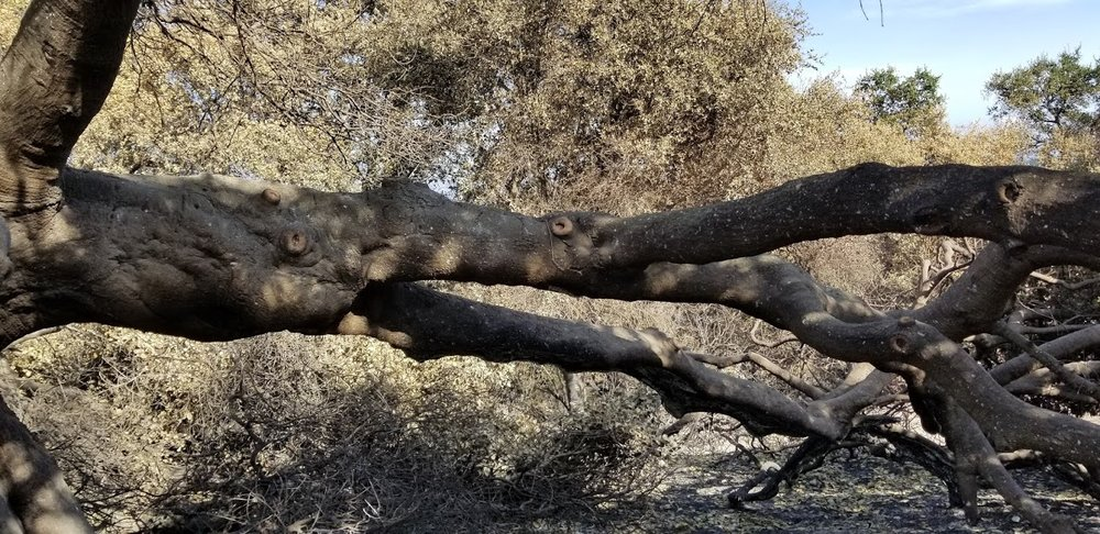 A LIVING LIMB of Baba's Tree at Meher Mount. Seen here is one of the limbs of Baba's Tree that shows signs of hydration and new bud growth just 30 days after the fire. (Photo: Margaret Magnus, January 5, 2018)