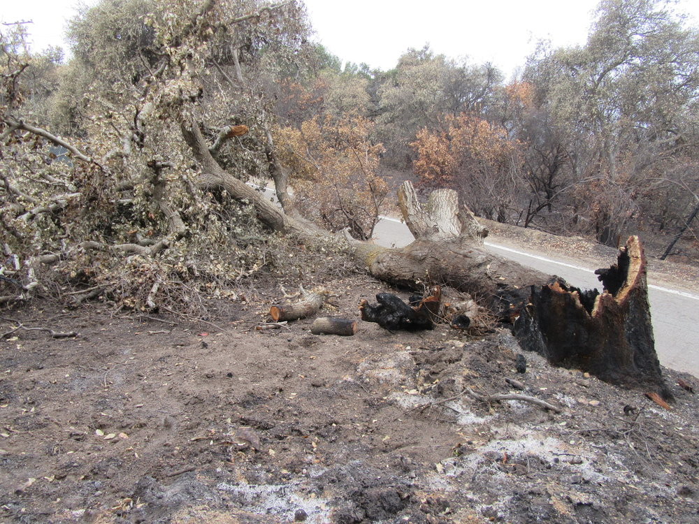 A BURNED & FALLEN OAK near the entryway along Sulphur Mountain Road that needs to be removed. Wood chips from this Coast Live Oak ( Quercus agrifolia ) can be used as mulch for Baba's Tree at Meher Mount. (Photo: Sam Ervin, January 19, 2018)