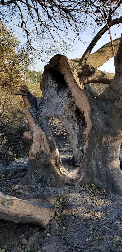 THE INTERIOR of Baba's Tree at Meher Mount is severely burned by the 2017 Thomas Fire. (Photo: Margaret Magnus, December 12, 2017)