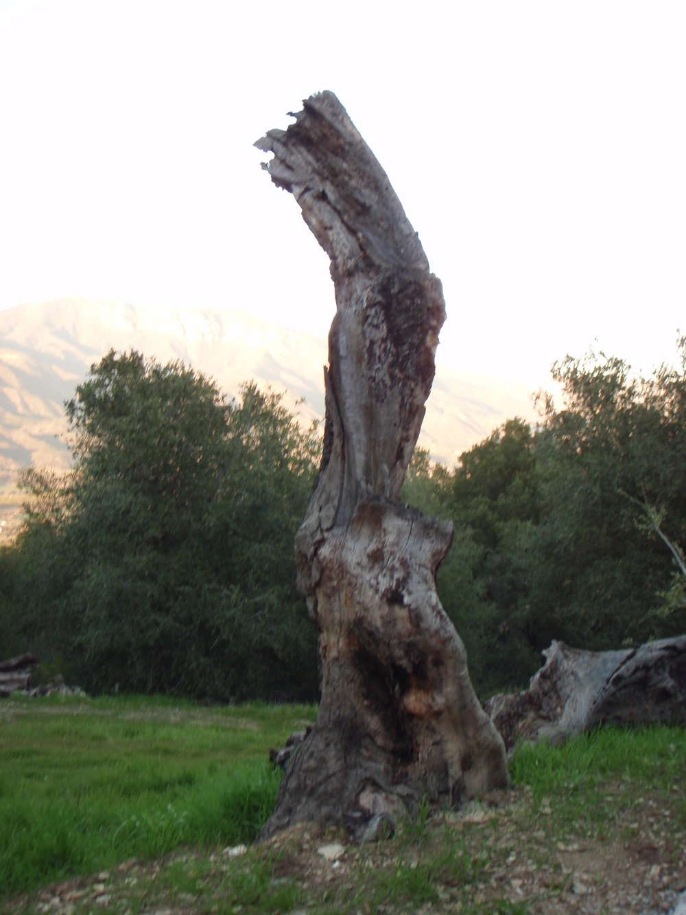 THE REMAINING TRUNK of a dead Coast Live Oak provides a natural sculphtural piece by the Topa Topa Patio. (Photo: Margaret Magnus, 2013)